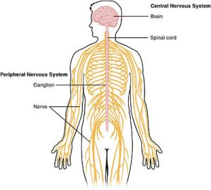 1201_Overview_of_Nervous_System