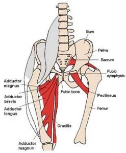 adductor-muscles1